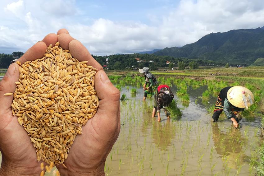 Bao Bì Lúa Giống Chất Lượng Tốt Nhất Việt Nam- Bao Bì Ánh Sáng