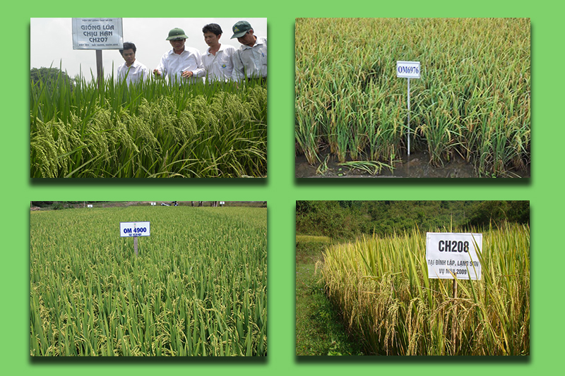 Các giống lúa mới chịu hạn tốt, năng suất cao lần lượt ra đời